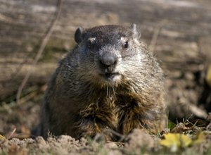 Groundhog Day Why Ask A Rodent About The Weather